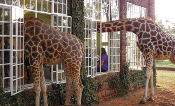 giraffe-manor-nairobi-a-kenyan-sanctuary-safari-01