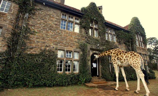 giraffe-manor-nairobi-a-kenyan-sanctuary-safari-09